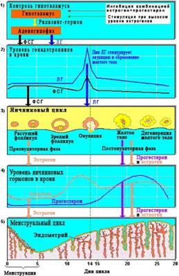 Рис. 6-18.  Схема регуляции менструального цикла.