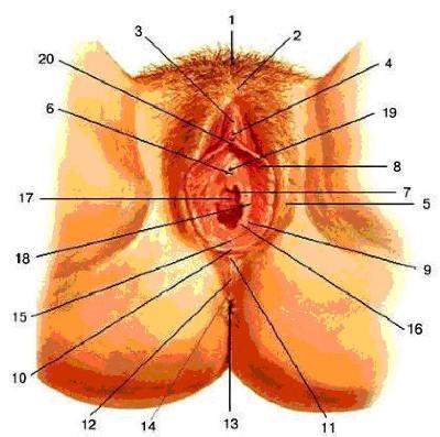 постарались собрать анатомия женских половых органов видео это универсальное