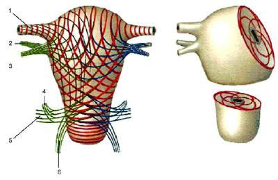 форма матки