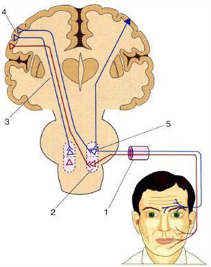 колено внутренней капсулы;