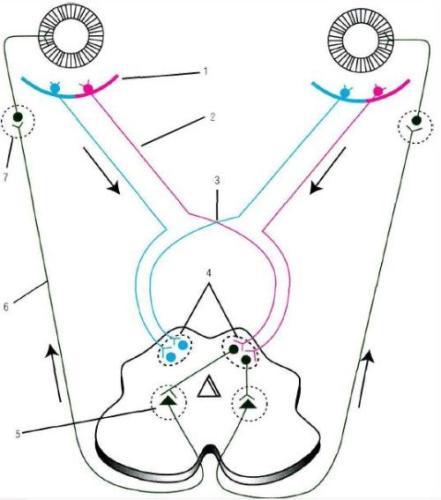 Схема дуги зрачкового рефлекса на свет: 1 - клетки сетчатки глазного яблока; 2 - зрительный нерв; 3...
