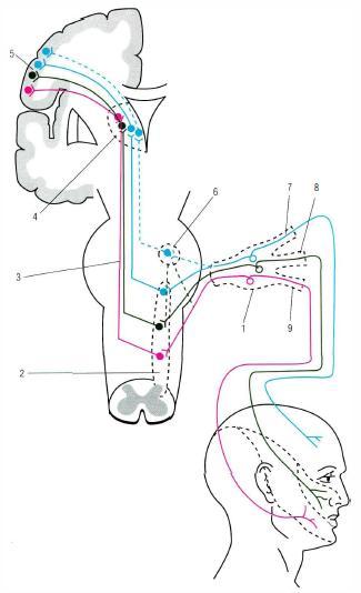 пути тройничного нерва;
