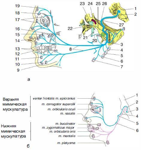 Топография лицевого нерва и